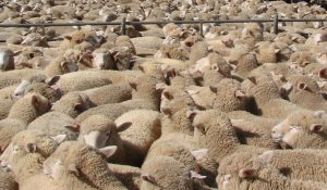 Sheep Sale @ South Eastern Livestock Exchange (SELX)