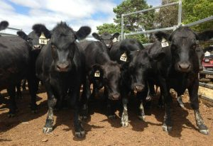 Cattle Sale @ South Eastern Livestock Exchange (SELX)